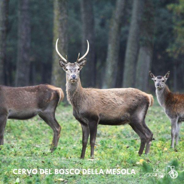 Mesola Deer